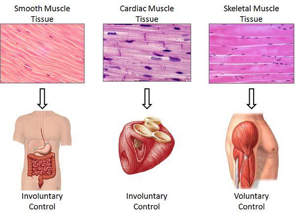 3 loại cơ trong cơ thể